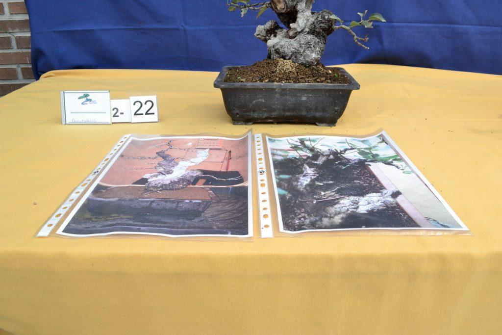 Prunus mahaleb previo del VIII concurso de prebonsai de Griñón