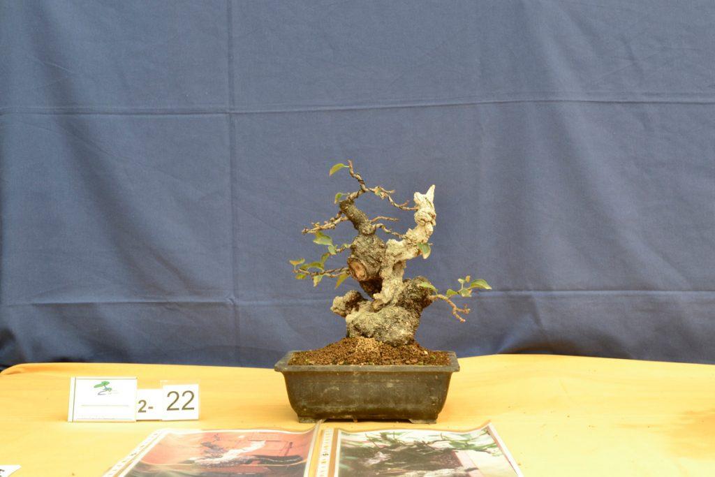 Prunus mahaleb del VIII concurso de prebonsai de Griñón