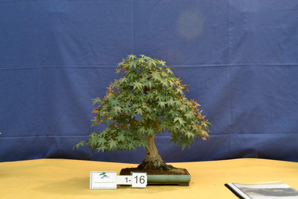 Acer Palmatum en el VIII concurso de prebonsai de Griñón