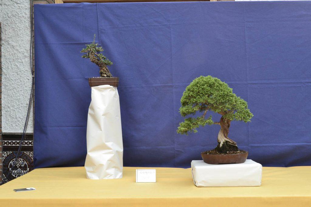Arriba izquierda, Olea europaea silvestris. A la derecha, Juniperus chinensis 'itoigawa'.
