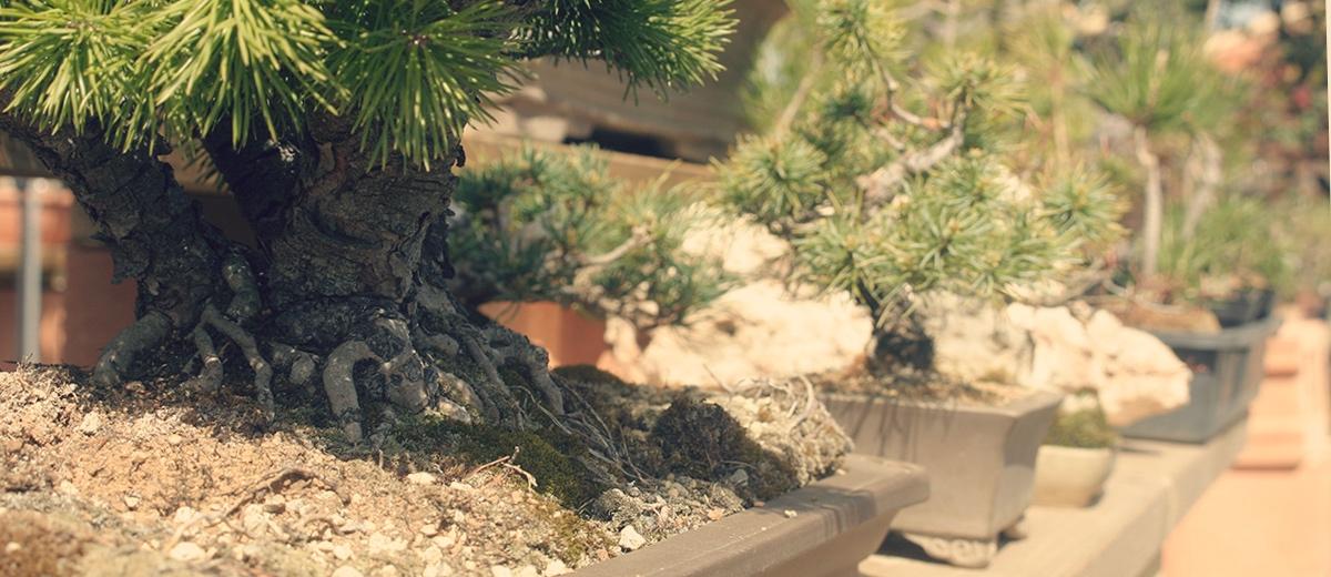 Bancal de bonsai