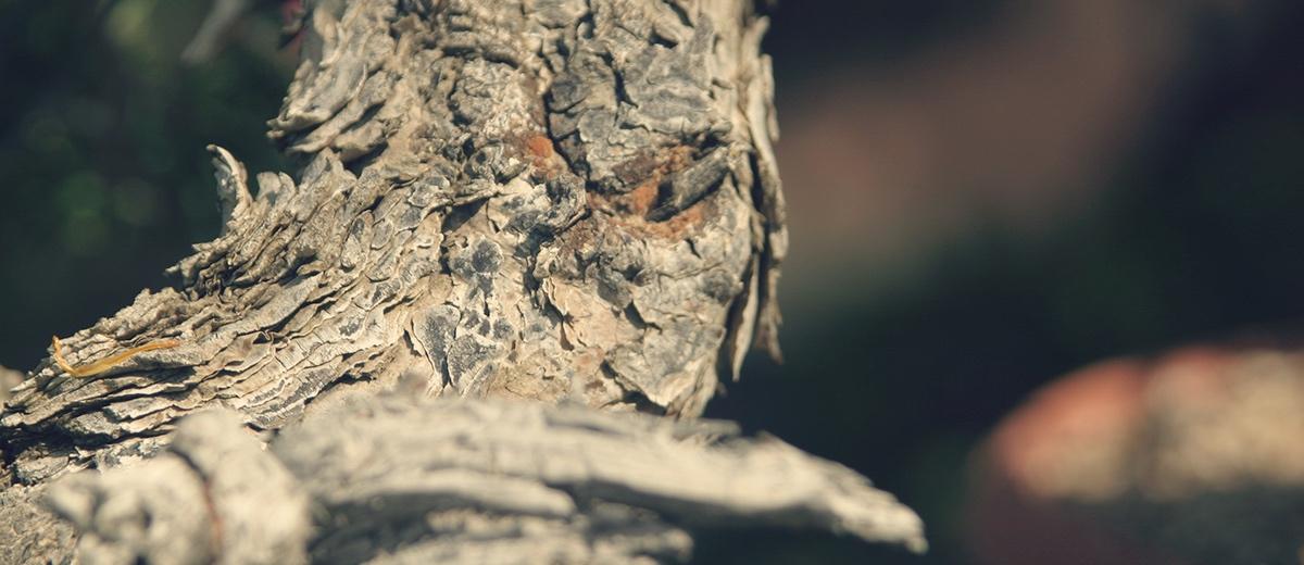 Corteza de bonsai