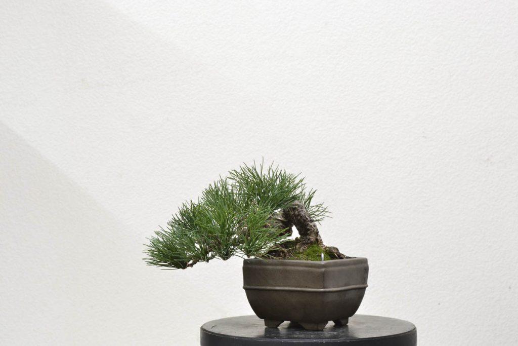 Terminado. Pinus parviflora pentaphylla. 10x19cm.