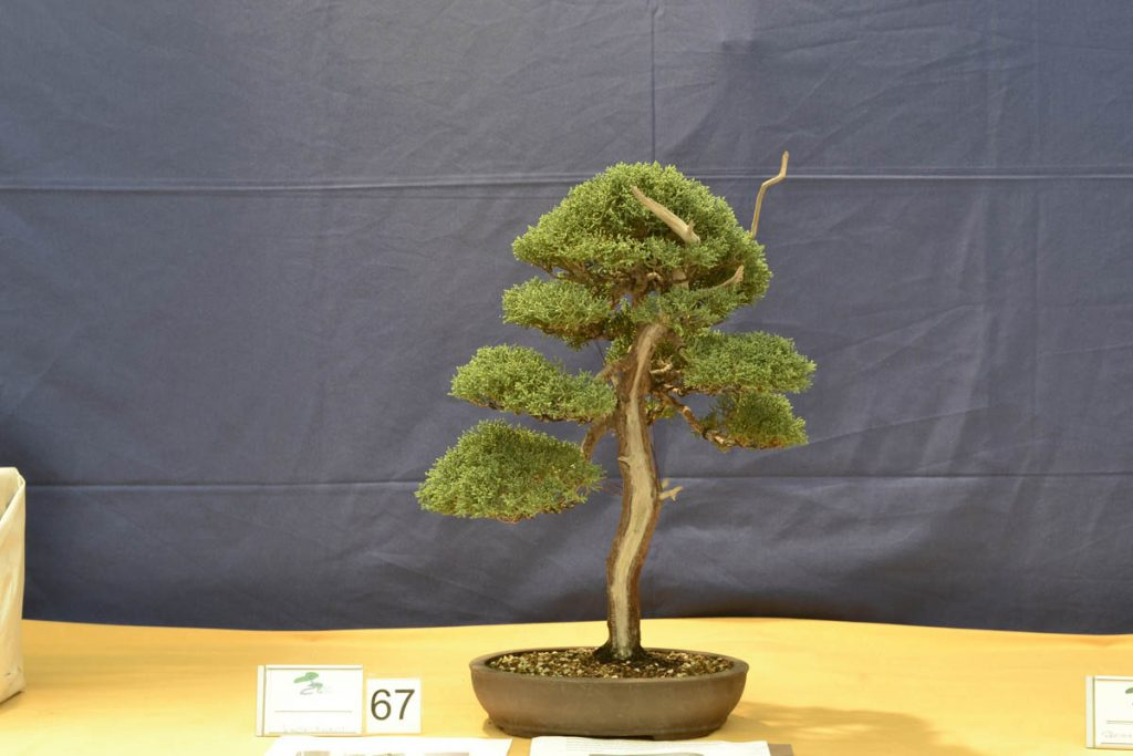 El resultado final es espectacular, tanto que ya entra en la categoría de bonsái. El tronco es algo delgado en la base pero es algo que se corregirá poco a poco.