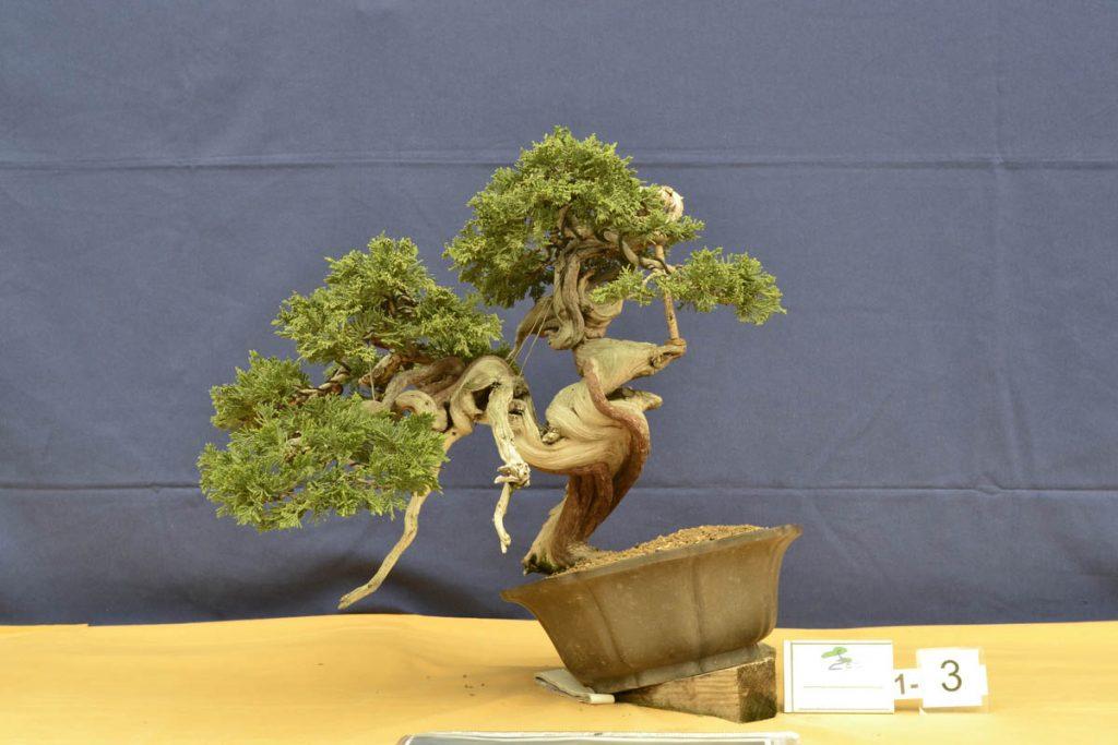 El trabajo es correcto, aunque lleva poca transformación. En cuanto se pueda cortar la raíz que impide colocarlo en su posición tendremos un bonsái con mayúsculas.