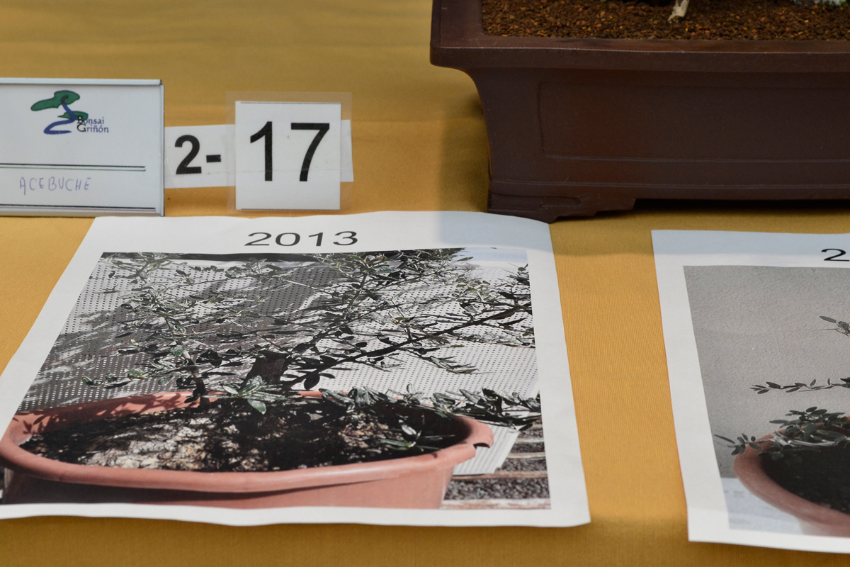 Ola europea en el VIII concurso de prebonsai de Griñón