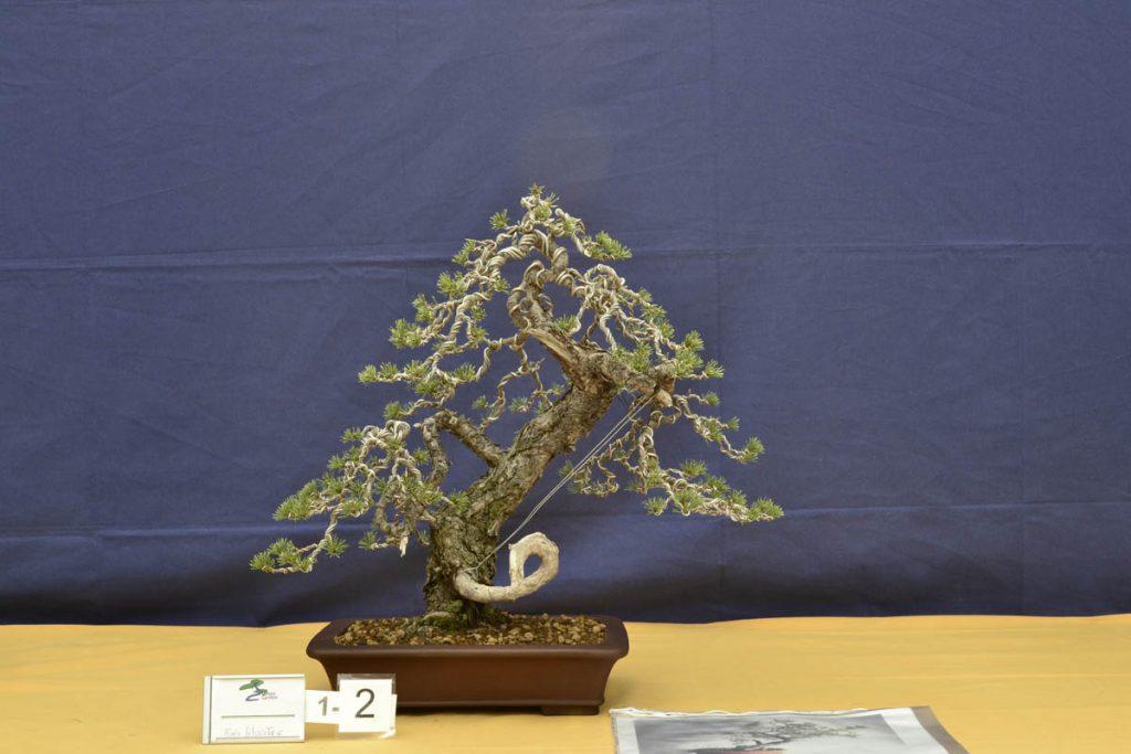 Pinus sylvestris. Nuestra aportación fuera de concurso.