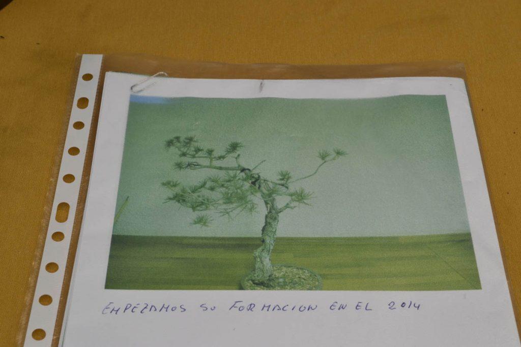 El árbol original no tiene mucho más que unas suaves curvas, un shari impresionante en la base y una curva de casi 180º natural.