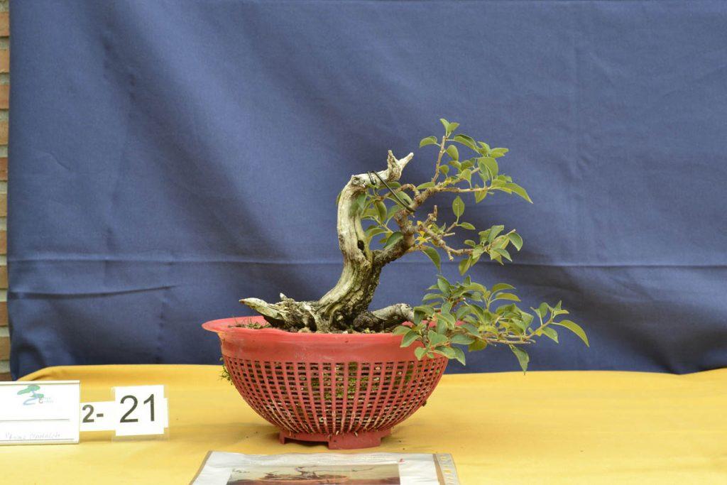Buen material en un tamaño ideal. Con más ramificación estaremos ante un bonsái de calidad.