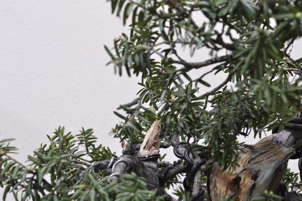 Una vez podada la rama la convertimos en jin.