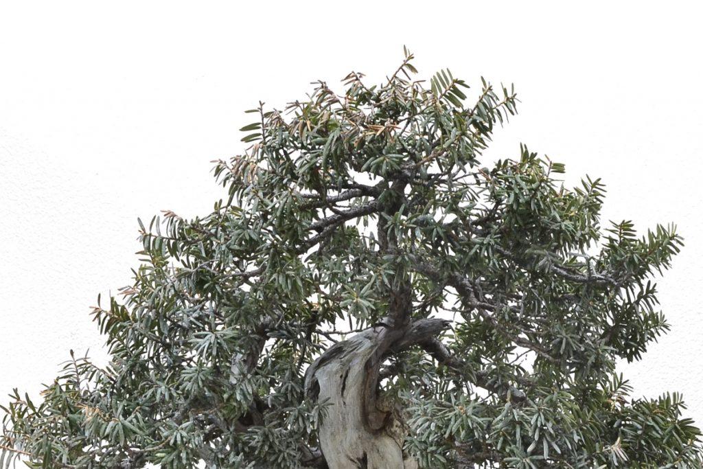 Vemos algunas hojas quemadas por el sol. No es preocupante, pero habrá que tomar las precauciones oportunas. La primera será no refinar el árbol hasta el máximo detalle para conservar el vigor.