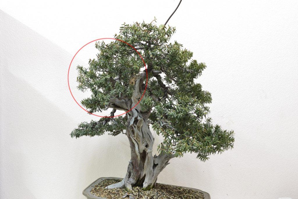 Ya se ha empezado el modelado. Se aprecia en la foto el sinuoso movimiento del tronco desde este punto. La parte del follaje señalada con el círculo ha de reducirse más para ajustarse al perfil.