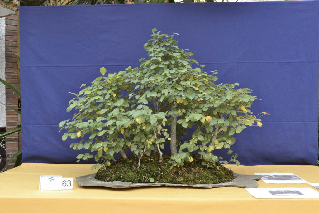 La plantación es buena. Si se corrigen algunos ángulos de los troncos y con mayor ramificación, se alcanzará el objetivo.