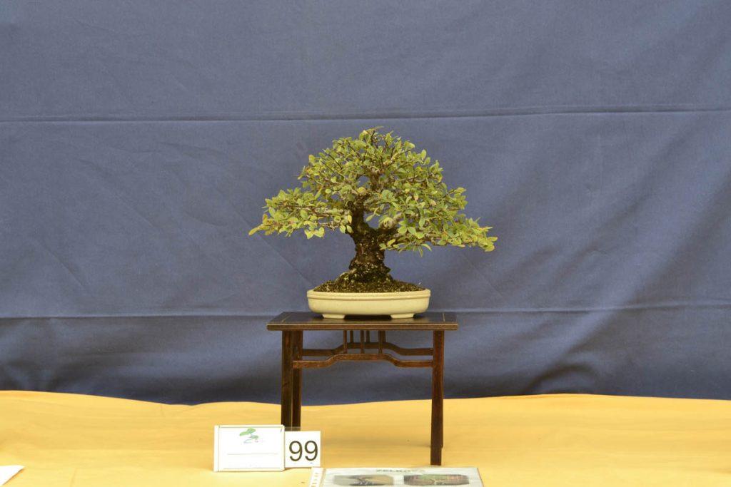 El resultado es increíble. Se ha obtenido un bonsái de alta categoría al que solo le falta aumentar la ramificación.