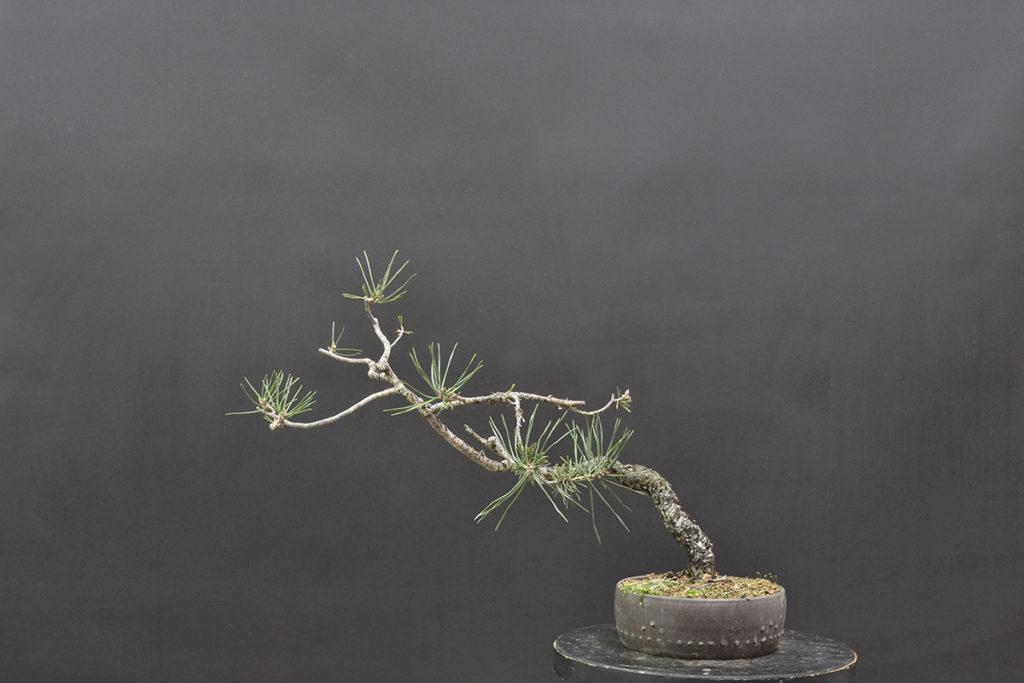 Diseño de Pinus sylvestris. David Soto Estudio de Bonsái.